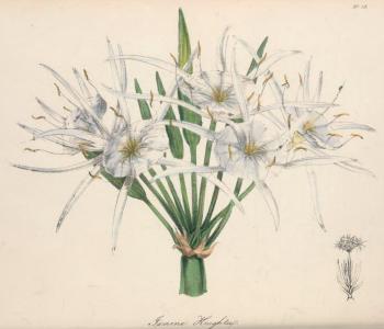 Ismene knightii, from The Magazine of Exotic Botany, vol.2, 1838
