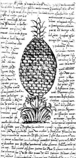 The first European image of a pineapple from the manuscript of Historia general de las Indias Gonzalo Hernandez de Oviedo y Valdez ( publihsed in Seville, 1536)