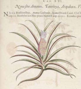 Ananas comosus (L.) Merr. pineapple Piso, W., Historia naturalis Brasiliae, p. 33 (1648)