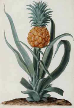 from Ananas comosus (L.) Merr. pineapple Moninckx, J., Moninckx atlas, vol. 1: t. 36 (1682-1709)