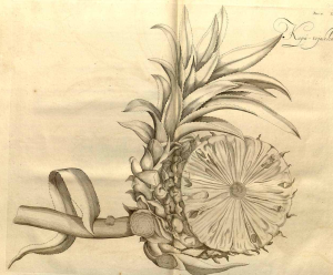 from Ananas comosus (L.) Merr. [as Ananassa sativa Lindl.] pineapple Rheede tot Drakestein, H.A. van, Hortus Indicus Malabaricus, vol. 11: t. 1 (1692)