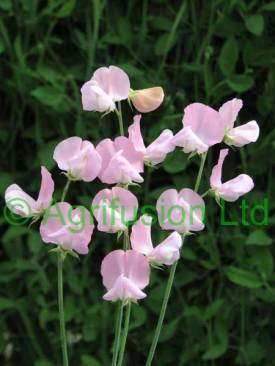 Nellie Viner http://www.englishsweetpeas.co.uk/