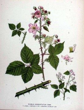 Rubus argentatus P.J. Müll. Kops et al., J., Flora Batava, vol. 24: t. 1896 (1915)