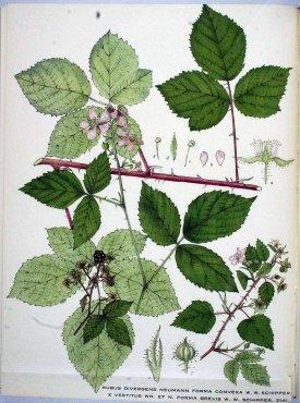 Rubus divergens x vestitus Kops et al., J., Flora Batava, vol. 27: t. 2141 (1930)