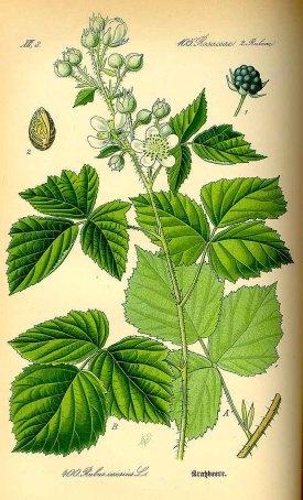 Rubus caesius L. dew berry Thomé, O.W., Flora von Deutschland Österreich und der Schweiz, Tafeln, vol. 3: t. 400 (1885)