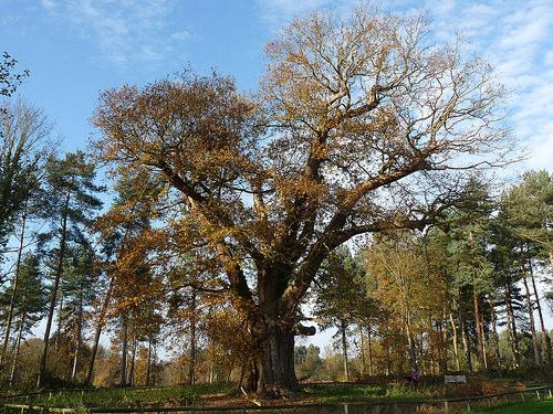 The Honywood Oak photo by Hornbeam Arts, 2014, Flickr.com