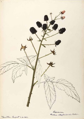 Rubus allegheniensis Porter Sharp, Helen, Water-color sketches of American plants, especially New England, (1888-1910) [Helen Sharp]