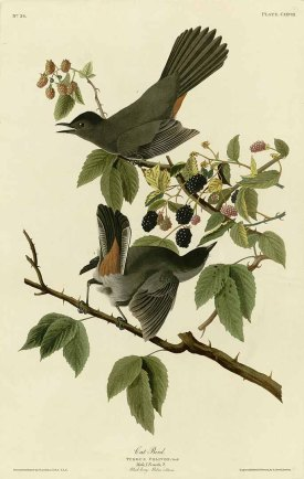 Rubus corchorifolius L.f. [as Rubus villosus Thunb.] Audubon, J.J., Birds of America [double elephant folio edition], t. 128 (1826-1838) [J.J. Audubon]
