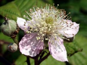 flower of Rubus ulmifolius