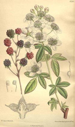 Rubus flagellaris Willd. [as Rubus canadensis L.] Curtis's Botanical Magazine, vol. 135 [ser. 4, vol. 5]: t. 8264 (1909) [M. Smith]