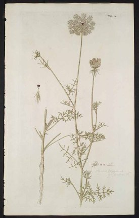 Daucus carota L. [as Daucus polygamus Jacq. ex Nyman] carrot, Queen Anne's lace Jacquin, N.J. von, Hortus botanicus Vindobonensis, vol. 3: t. 278 (1776)