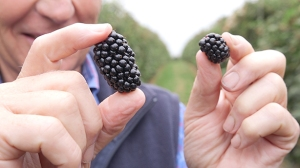Driscoll's Victoria is twice the size of regular blackberries https://www.tescotalkingshop.com