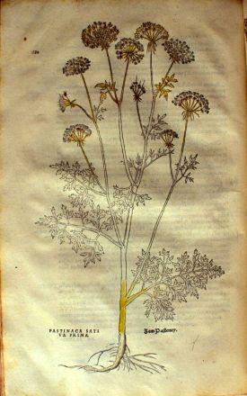 """""""Pastinaca Erraticus, from Fuchs' 1542 De historia stirpium commentarii insignes (Image courtesy of Smithsonian Institute)"""