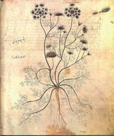 Gingidion The wild carrot (Daucus gingidium). (also referred to as Cretan carrot) fom the Codex Neapolitum http://www.carrotmuseum.co.uk