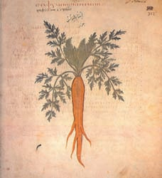 Staphylinos Keras The cultivated carrot from the Codex Neapolitanum http://www.carrotmuseum.co.uk