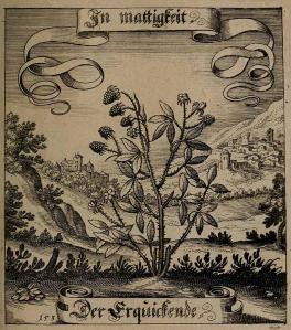 Rubus Merian, M., Der Fruchtbringenden Gesellschaft, t. 153 (1646)