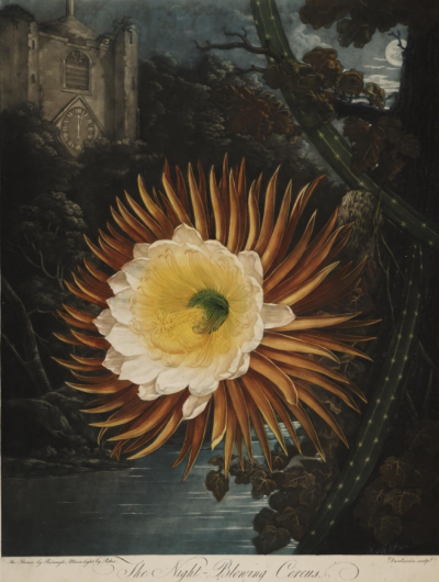 The Night-flowering Cereus by Reinagle