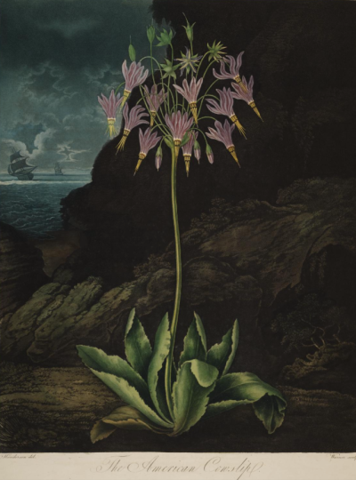 The 'American cowslip' [nowadays, after Linneaus Dodecathon ]
