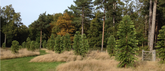A small part of the Wollemi Pine plantation David marsh, Oct 2015