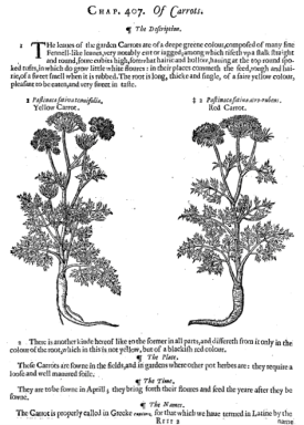 Carrots from John's revision of Gerard's Herbal 1633