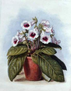 Gloxinia in a pot (England, c.1860) Sold Sold Watercolour on paper Inscribed with title and price 8.8.0 http://www.leicestergalleries.com/19th-20th-century-paintings/d/augusta-innes-withers/13956