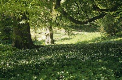 "Wild garlic growing in the garden in the area called ""Paradise"" ©NTPL/Lynn Keddie"