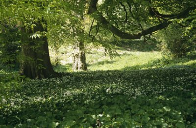 "Wild garlic growing in the garden in the area called ""Paradise"" ©NTPL/Lynn Keddie"