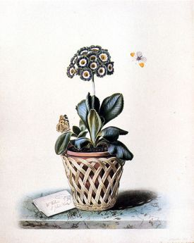 An Auricula in a Pot in a Basket Cachepot, with Painted Lady and Orange Tip Butterflies Signed : flower painter to Queen Adelaide and Mrs Withers St. John's Wood on a trompe l'oeil letter