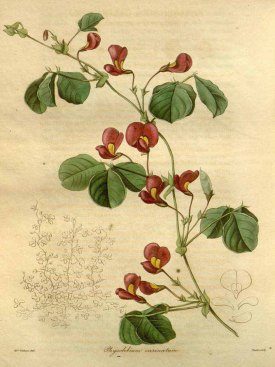 Kennedia carinata (Benth.) Domin [as Physolobium carinatum Benth.] Maund, B., Henslow, J.S., The botanist, vol. 4: t. 183 (1840) [A.I. Withers]