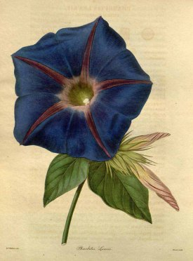 Ipomoea indica (Burm.) Merr. [as Pharbitis learii (Knight ex Paxton) Lindl.] blue dawn flower, Morning glory Maund, B., Henslow, J.S., The botanist, vol. 4: t. 184 (1840) [A.I. Withers]
