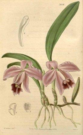 Cattleya pumila Hook. Curtis's Botanical Magazine, vol. 65 [ser. 2, vol. 12]: t. 3656 (1839) [A.I. Withers]