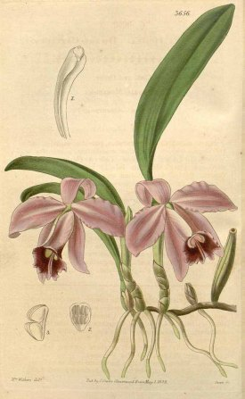 Cattleya pumila Hook. Curtis's Botanical Magazine, vol. 65 [ser. 2, vol. 12]: t. 3656 (1839) [A.I. Withers]