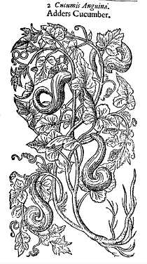 The Adders Cucumber from Thomas Johnson's edition of Gerard;s Herbal 1633