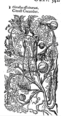 The Citrull Cucumber from Thomas Johnson's edition of Gerard;s Herbal 1633