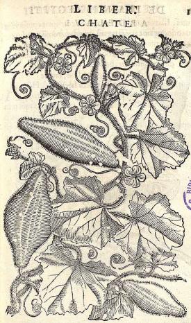 Cucumis melo L. [as Chate] cantaloupe, Kharbuja, Musk melon, muskmelon Alpino, P., Vesling, J., De plantis Aegypti liber, editio altera emendatior, p. 117 (1640)