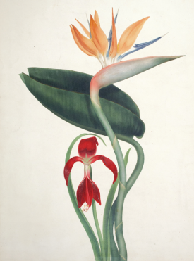 http://www.ursusbooks.com/pages/books/146401/augusta-withers/bird-of-paradise-and-amaryllis