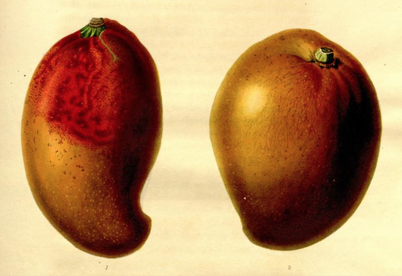 The Red and Yellow Powis mangoes from The Transactions of the Hortivultutal Society of London, vol.6 1826