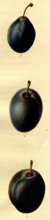another detail from Mr Knight's seedling plums, from The Transactions of the Hortivultutal Society of London, vol.6 1826