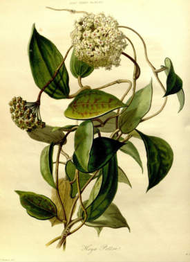 Hoya pallida from the Transcations of the Horticultural SOcirty of London, vol.7 1830