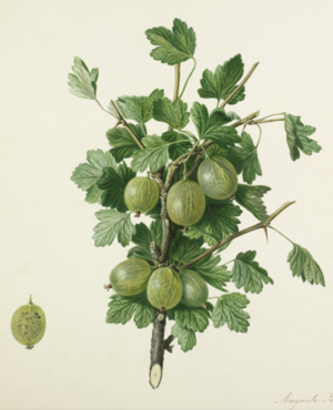 Gooseberry Compton's Sheba Queen, drawn by Withers for the Horticultural Society, 1825