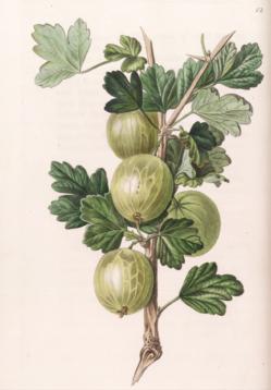 Gooseberry Crompton's Sheba Queen, Pomological Magazine, 1828