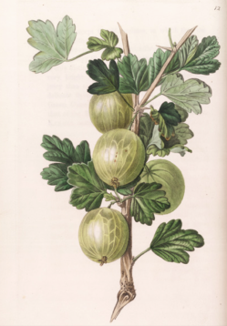 Gooseberry Crompton's Sheba Queen, Pomological Magazine, 1828