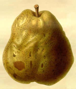 Duchess of Angouleme pear, from from the Transcations of the Horticultural SOcirty of London, vol.7 1830