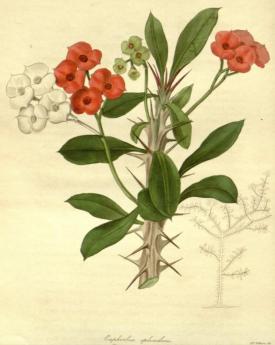 Euphorbia splendens The Botanist, vol.