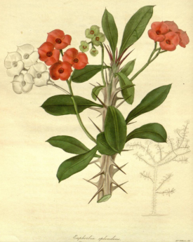 Euphorbia splendens The Botanist, vol.