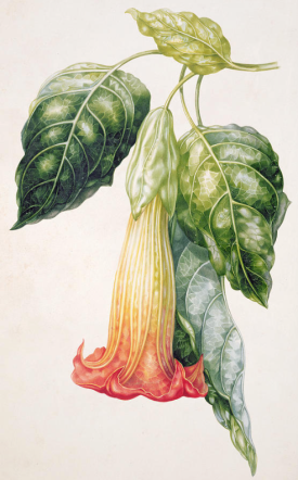 Thorn Apple flower from Ecuador, Datura rosei (gouache), Withers, Augusta Innes (fl.1829-65)