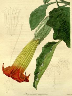 Thorn Apple flower from Ecuador, Datura rosei (gouache), Withers, Augusta Innes (fl.1829-65) from the Botanist