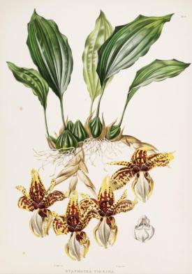 Stanhopia tigrina from