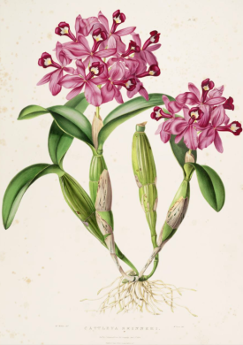 Cattleyia skinneri from Orchidaceae of Mexico and Guatemala