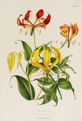 'The illustrated bouquet, consisting of figures with descriptions of new flowers Vol. 3' Published by E.G. Henderson & Son London 1857-1864. NAL Pressmark: 48.B.31 (Plate LXXVIII 'Methonica')
